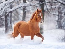 Chestnut don horse running in snow Stock Image