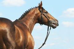 Chestnut Don horse stallion portrait. In summer on sky background Stock Photos