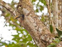 Chestnut-eared Aracari Stock Photos