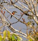 Chestnut-eared Aracari Stock Photos