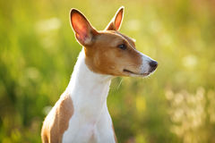Chestnut-eared dog looking somewhere. Chestnut-eared dog sitting and looking somewhere Stock Photography