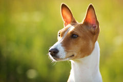 Chestnut-eared dog looks somewhere. Chestnut-eared dog looks off into the distance Stock Photos
