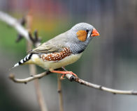 Chestnut-eared Finch Stock Image