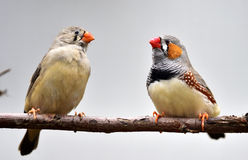 Chestnut-eared Finch Stock Photo