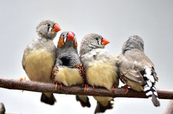 Chestnut-eared Finch Stock Images