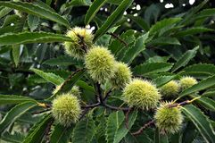 Chestnut is edible in a prickly plush Royalty Free Stock Images
