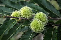 Chestnut is edible in a prickly plush Royalty Free Stock Photos