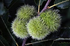 Chestnut is edible in a prickly plush Stock Image