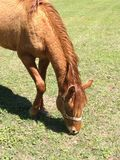 Chestnut filly eating grass in field royalty free stock images