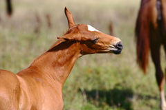 Chestnut filly on field Stock Image