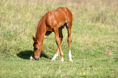 Chestnut filly on field Stock Photography