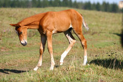 Chestnut filly on field Royalty Free Stock Photo