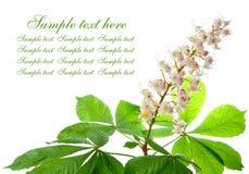 Chestnut flower Stock Photo