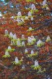 Chestnut flower Stock Photography