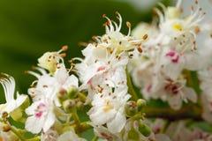 Chestnut Flower Royalty Free Stock Photos