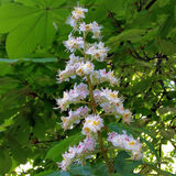 Chestnut flower. Blooming chestnut tree in the park Royalty Free Stock Images