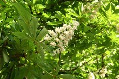 Chestnut flower. And green leaves on a spring tree royalty free stock photography
