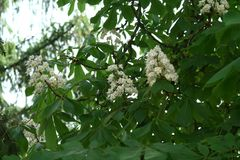 Chestnut flower. And green leaves on a spring tree royalty free stock photos