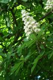 Chestnut flower. And green leaves on a spring tree, vertical shot stock photo