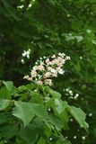 Chestnut flower. And green leaves on a spring tree, vertical shot royalty free stock photography