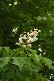 Chestnut flower. And green leaves on a spring tree, vertical shot royalty free stock images