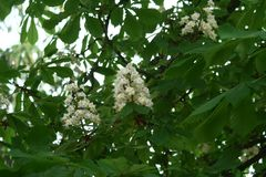 Chestnut flower. And green leaves on a spring tree royalty free stock images