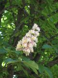Chestnut flower. And green leaves on a spring tree, vertical shot stock images