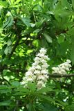 Chestnut flower. And green leaves on a spring tree, vertical shot royalty free stock photo