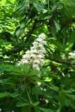 Chestnut flower. And green leaves on a spring tree, vertical shot stock photos