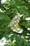 Chestnut flower. And green leaves on a spring tree, vertical shot royalty free stock photos