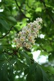 Chestnut flower. And green leaves on a spring tree, vertical shot stock photography