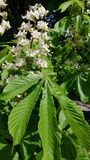 Chestnut flower. And its leaf stock photo