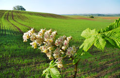 Chestnut flower and land. Stock Photos