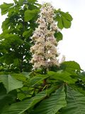 Chestnut flower. Tree leaves green spring royalty free stock photos