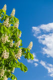 Chestnut flowers against blue sky Stock Photography