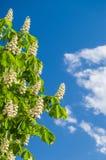 Chestnut flowers against blue sky Stock Photography