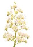 Chestnut flowers Stock Photography