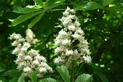 Chestnut flowers. And green leaves on a spring tree royalty free stock images