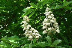 Chestnut flowers. And green leaves on a spring tree royalty free stock photography