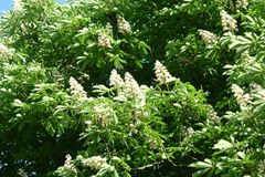 Chestnut flowers. And green leaves on a spring tree royalty free stock photos