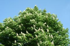 Chestnut flowers. And green leaves on a spring tree stock photography