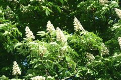 Chestnut flowers. And green leaves on a spring tree royalty free stock image