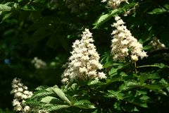 Chestnut flowers. And green leaves on a spring tree stock photos