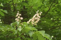 Chestnut flowers. And green leaves on a spring tree stock image