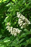 Chestnut flowers. And green leaves on a spring tree, vertical shot stock image