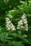 Chestnut flowers. And green leaves on a spring tree, vertical shot stock images