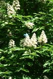 Chestnut flowers. And green leaves on a spring tree, vertical shot stock photos