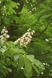 Chestnut flowers. And green leaves on a spring tree, vertical shot stock photography
