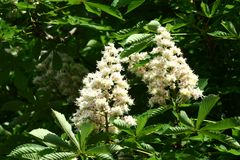 Chestnut flowers. And green leaves on a spring tree royalty free stock photo
