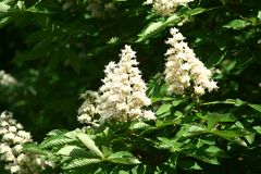 Chestnut flowers. And green leaves on a spring tree stock images